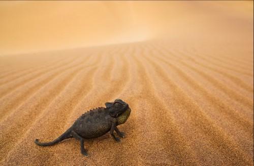 Тео Аллофс. Пустынный хамелион